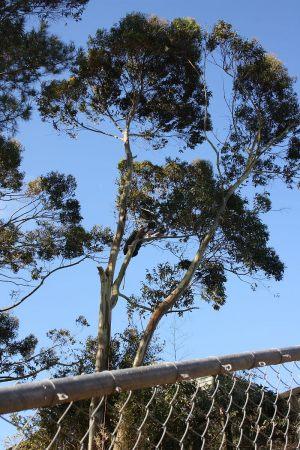 eucalyptus-section-dismantle-boundary-encroachment-arbortechnix-tree-contracting