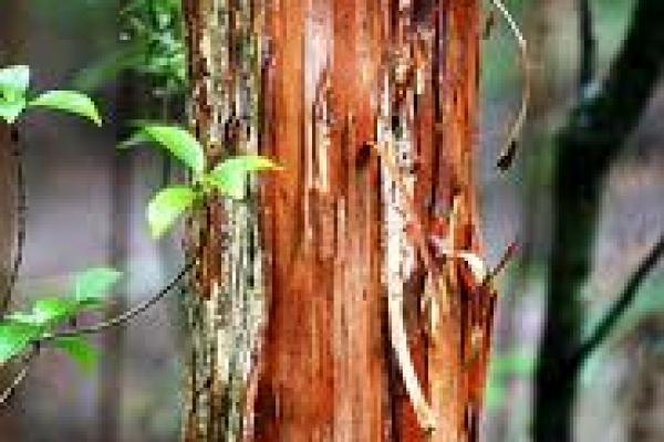 akeake-bark-atx-tree-species.jpg