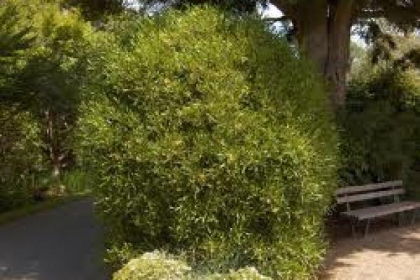 akeake-tree-specimen-atx-botanics.jpg