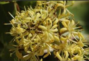 lemonwood-flower-arbortechnix-tree-species-2.png