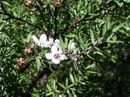 manuka-flower-leaf-botanical-arbortechnix.jpg
