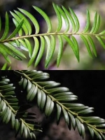 miro-leaf-close-arbortechnix-tree-botanics-combined.jpg