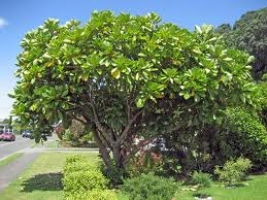 puka-specimen-tree-species-arbortechnix.jpg
