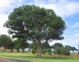 puriri-specimen-tree-arbortechnix-botanics.jpg