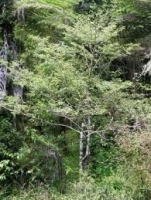 putaputaweta-specimen-atx-tree-species.jpg
