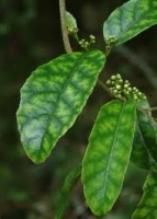 putaputaweta-marble-leaf-atx-species.jpg