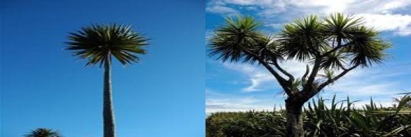 cabbage-tree-single-stem-multi-combined-arbortechnix-tree-species.jpg