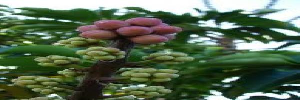 cabbage-tree-berries-arbortechnix-tree-classification.png