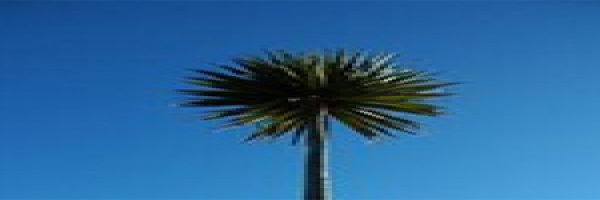 cabbage-tree.png