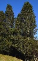 rewarewa-tree-specimen-arbortechnix-tree-species.jpg