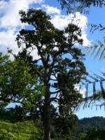 rimu-mature-specimen-tree-service-atx.jpg