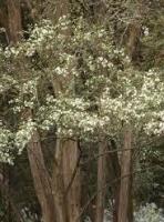 rohutu-tree-specimen-arbortechnix.jpg