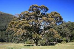 silver-beech-specimen-atx-tree-species.jpg