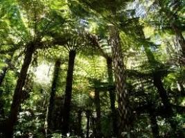 ponga-species-atx-tree-reference.jpg