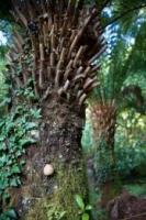 ponga-trunk-frond-base-atx-tree-species.jpg