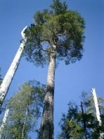 tanekaha-tree-specimen-arbortechnix-tree-species.jpg