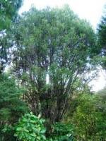 toru-specimen-arbortechnix-tree-botanics.jpg