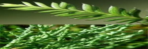 kahikatea-foliage-juvenile-adult-atx-combined.jpg