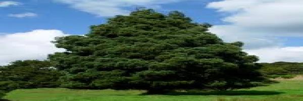 kahikatea-juvenile-specimen-arbortechnix-tree-identification.jpg