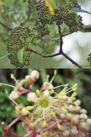 lancewood-fruit-flower-arbortechnix-tree-species-combined.jpg
