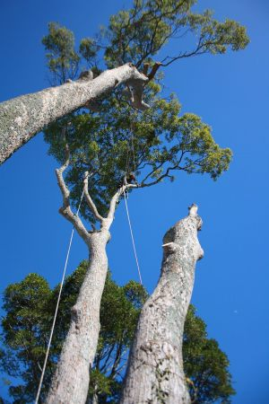 camphor-trunk-demolition-tree-work-auckland