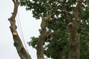 flame-tree-canopy-clearance-tree-services-auckland