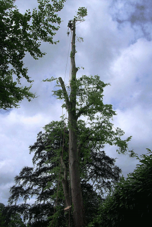 high-pollard-aerial-tree-surgery-arbortechnix-tree-work