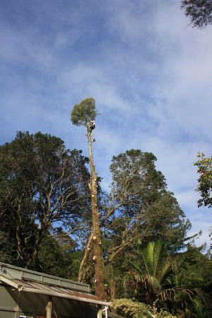 kahikatea-tree-removal-auckland-tree-work