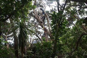 manuka-trunk-balance-atx-tree-services-auckland