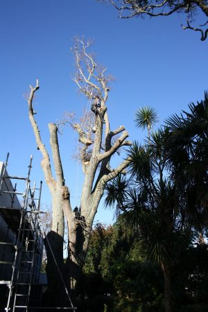 oak-pollard-dismantle-tree-work-auckland
