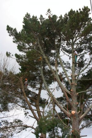 pine-dismantle-2-climbers-2-trees-auckland-tree-contracting