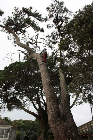 pine-trunk-scale-tree-services-auckland