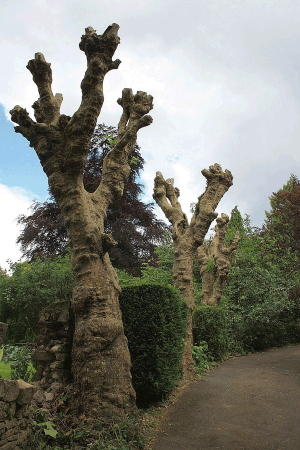 plane-tree-pollard-tree-services-auckland