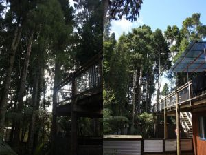 kauri-thinning-project-before-after
