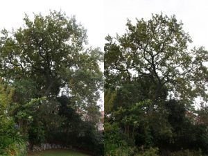 oak-thin-before-after-combined-resize