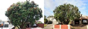 pohutukawa-reduction-balance-before-after-combined-resize