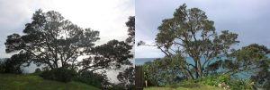 pohutukawa-thinning-technique-before-after