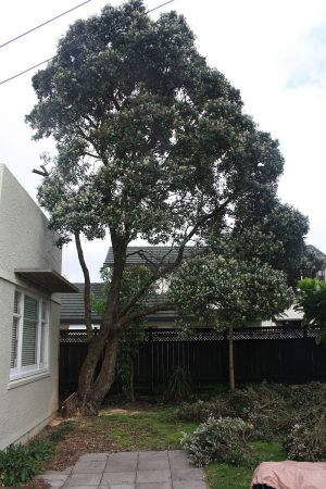 pohutukawa-trunk-encroachment-after