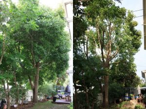 tulip-tree-canopy-thin-before-after-combined-resize