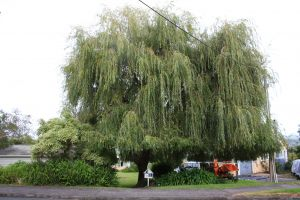 willow-reduction-before-resize