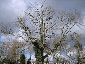 aerial-tree-surgery-common-ash-atx