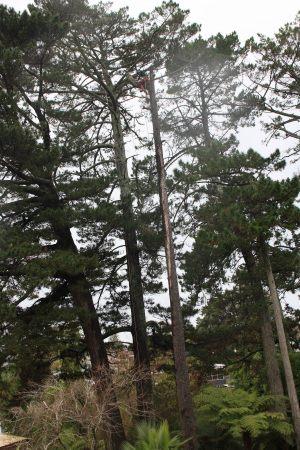 pine-pole-dismantle-arbortechnix-auckland-tree-services