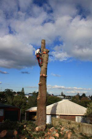 pine-removal-arbortechnix-auckland-tree-services