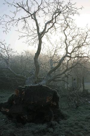 wind-blown-walnut-emergency-response-auckland-tree-work-atx
